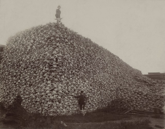 Pile of Bison Skulls - Bison were hunted nearly to extinction.